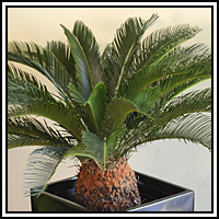 This beautiful and exotic green plant is a great focal point for any décor.