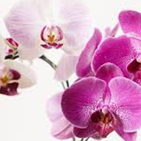Montreal orchids for local delivery.