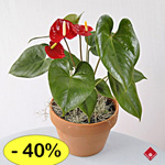 Anthurium - a sale flower exclusively online.