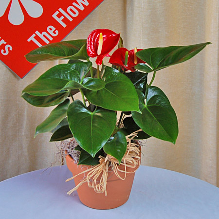 L'anthurium, a popular tropical flowering plant.