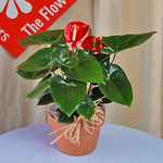 Anthurium - a popular tropical flowering plant.