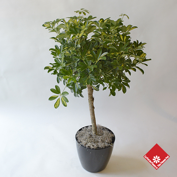 Schefflera Arboricola Tree for a Montreal home.