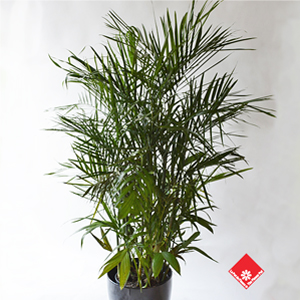 Bamboo palm, one of our popular tropical plants.