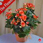Blooming begonia in our Montreal flower shop.