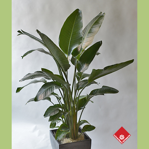 bird of paradise indoor plant for montreal delivery the flower pot