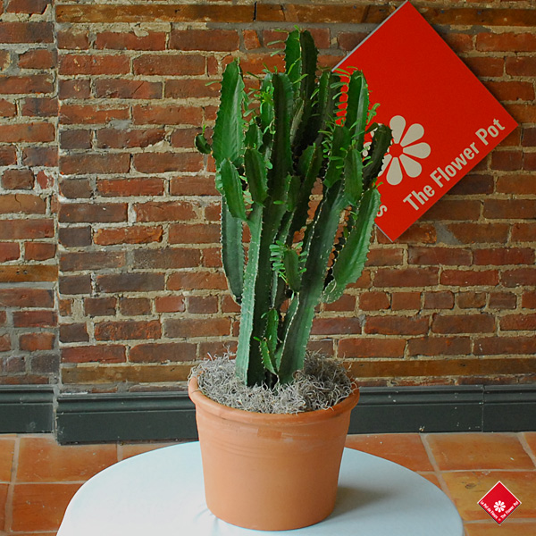Candelabra Euphorbia: a potted cactus for a Montreal home.