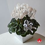 White cyclamen - a blooming winter gift