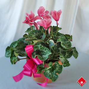Potted cyclamen for Montreal delivery.