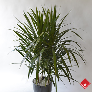 Dracaena Tarzan for a tropical garden in Montreal.