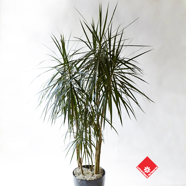 Dracaena Marginata for a home tropical garden.