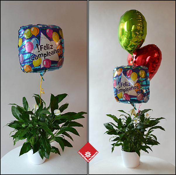 Balloon delivery with a peace lily.