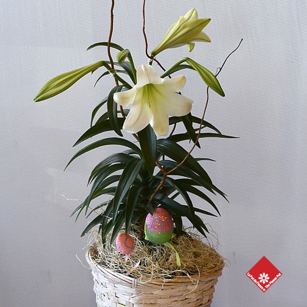 Blooming Easter Lily in a wicker basket.