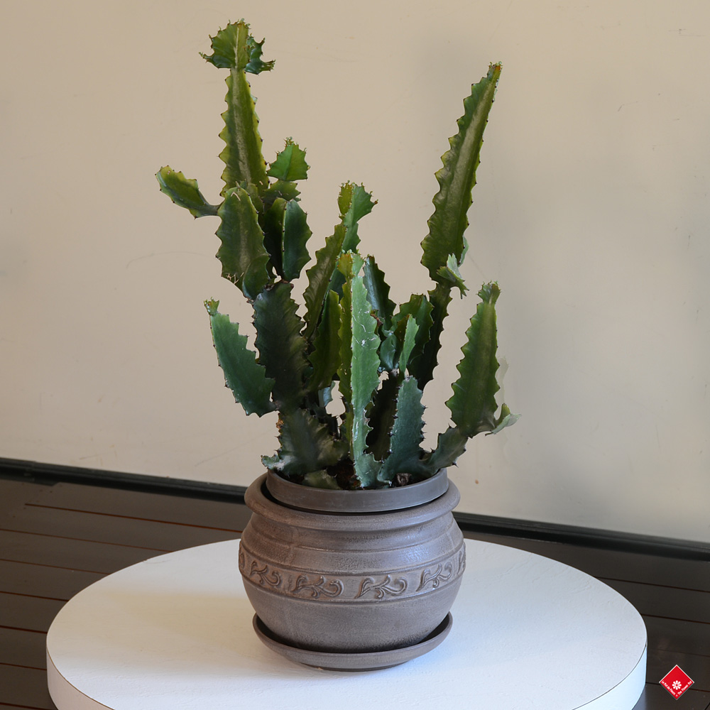 People with brown thumbs can now enjoy the freshness of a houseplant in their living room with this low-maintenance but modern-looking green plant.