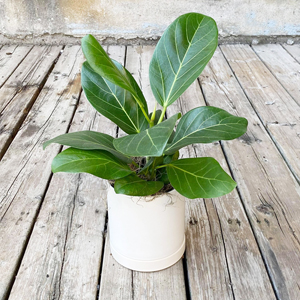 Ficus Benghalensis Audrey Plant - The Flower Pot