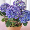 Hydrangea in bloom for Mother's Day
