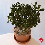 Crassula, jade plant, in a terra cotta pot.