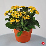 Kalanchoe as a gift for a Montreal home.