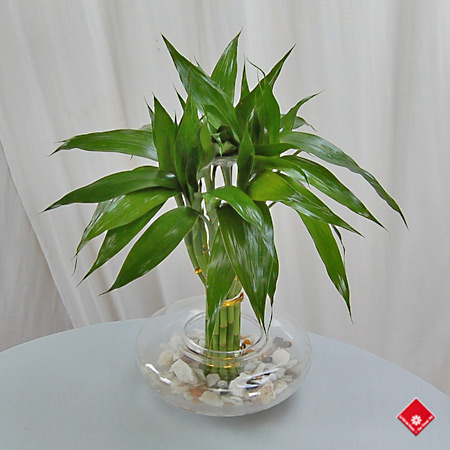 12 Lucky Bamboo stalks in a glass bowl