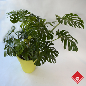 Monstera Deliciosa, one of our popular tropical plants.