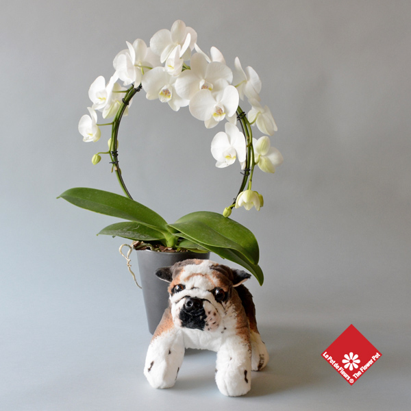 White phalaenopsis orchids in ceramic