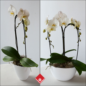Phalaenopsis orchid in a pot for Montreal flower delivery to any private residence, or funeral parlour.