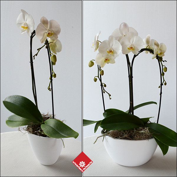 Phalaenopsis orchids in a pot for Montreal flower delivery to any private residence, or funeral parlour.