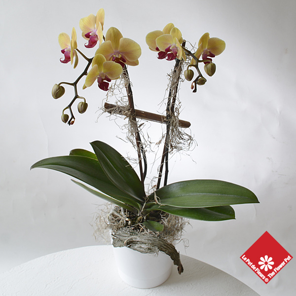 Phalaenopsis orchid plant in ceramic pot.
