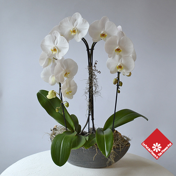 Two white phalaenopsis orchids in a ceramic container.