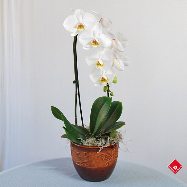 White phalaenopsis orchid in ceramic pot.
