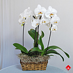 Two white phalaenopsis orchids in a basket.