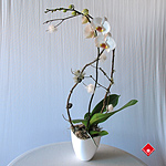 White Christmas phalaenopsis orchid in a ceramic pot.