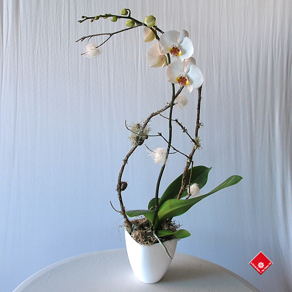 White Christmas phalaenopsis orchid in a ceramic pot
