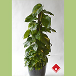 Golden pothos, one of our popular climbing plants.