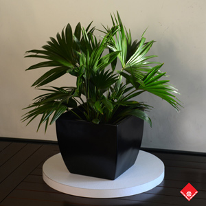 Fill your empty living room space with this gorgeous green Chinese fan plant in its sleek designer cache-pot.