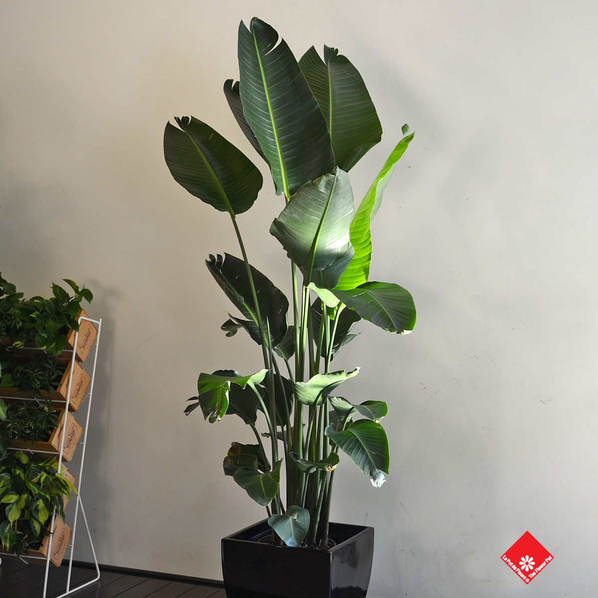 This plant's long leaves make it a designer favourite. Make your home fashionable by adding this Birds of Paradise plant to your living room décor.