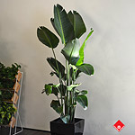 This plant's long leaves make it a designer favourite. Make your home fashionable by adding this Bir