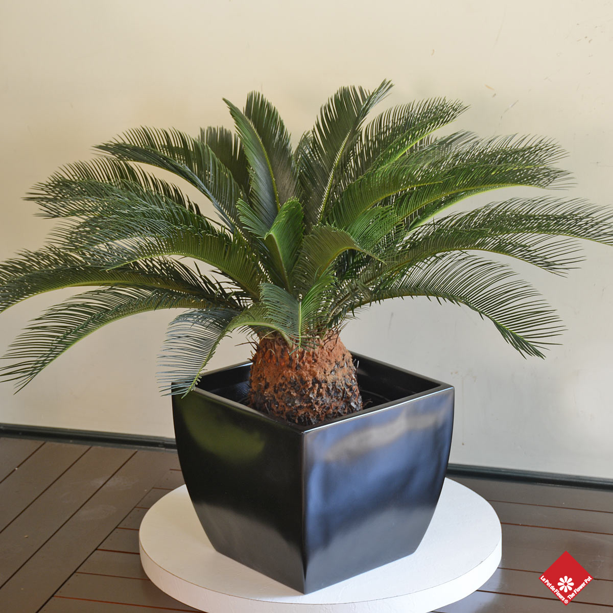 This beloved green plant called Cycad revoluta is the perfect addition to any living room decorating project: it's easy to care for, very eye-catching, and available at The Flower Pot.