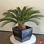 This beloved green plant called Cycad revoluta is the perfect addition to any living room decorating