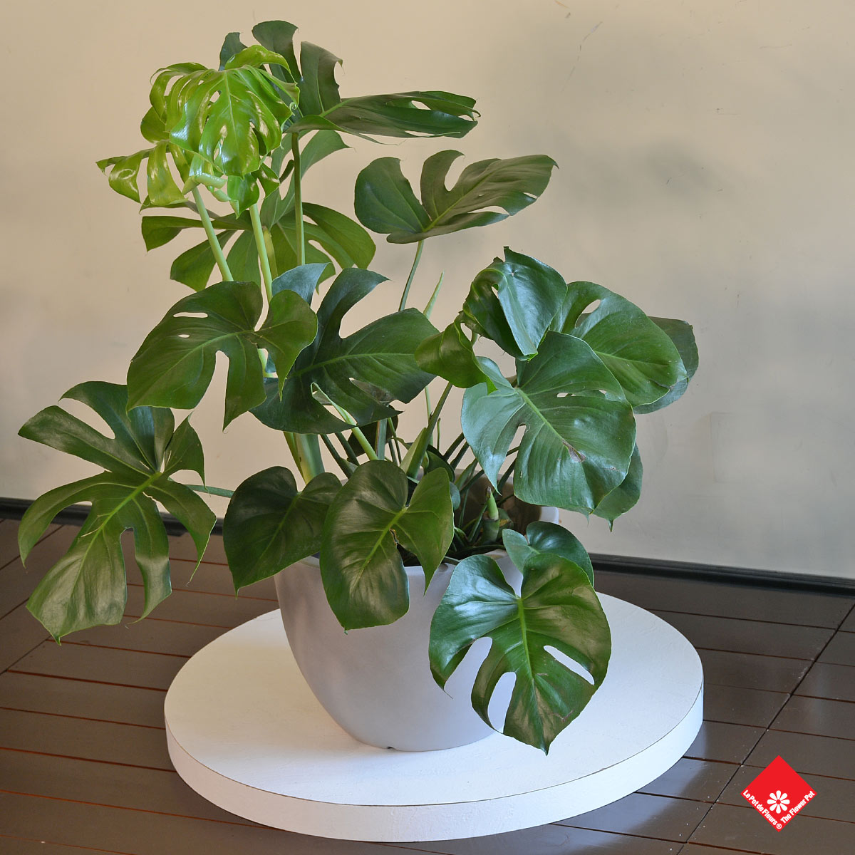 The Monstera deliciosa is the answer to all your current and future houseplant needs. You can get one from The Flower Pot for your Montreal home.