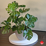 The Monstera deliciosa is the answer to all your current and future houseplant needs. You can get on