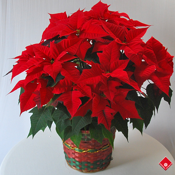 A luscious red poinsettia in Montreal for the holidays.