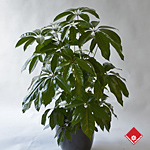Schefflera Armate - a unique umbrella tree.