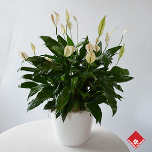 spathiphyllum peace lily for montreal funeral delivery. Black Bedroom Furniture Sets. Home Design Ideas