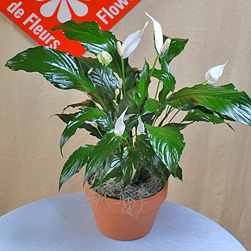 Spathiphyllum - or peace lily - for Montreal delivery.