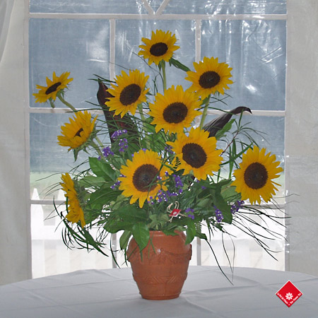 Montreal sunflowers in a terracotta vase.