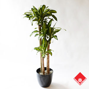 Dracaena Massangeana with three canes.