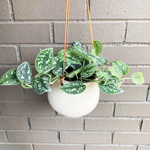 Silver Philodendron Plant - The Flower Pot