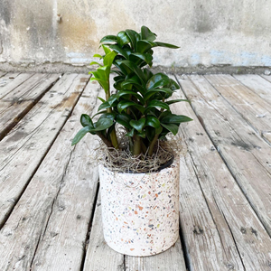 Zamioculcas Zenzi Plant - The Flower Pot
